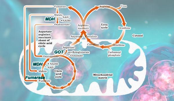 Conexion ciclo urea krebs
